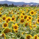 穴場発見!大島絵本館の裏のヒマワリ畑は夏のフォトスポット!