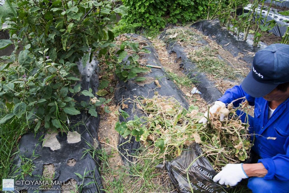 富山 家庭菜園 大根の種まき 6