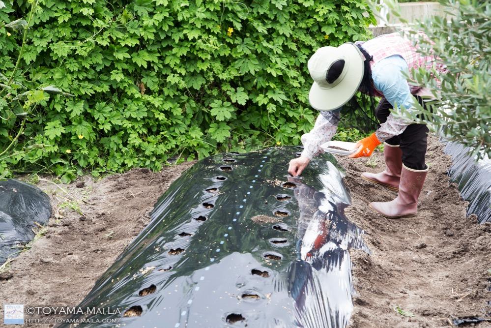富山 家庭菜園 大根の種まき 5