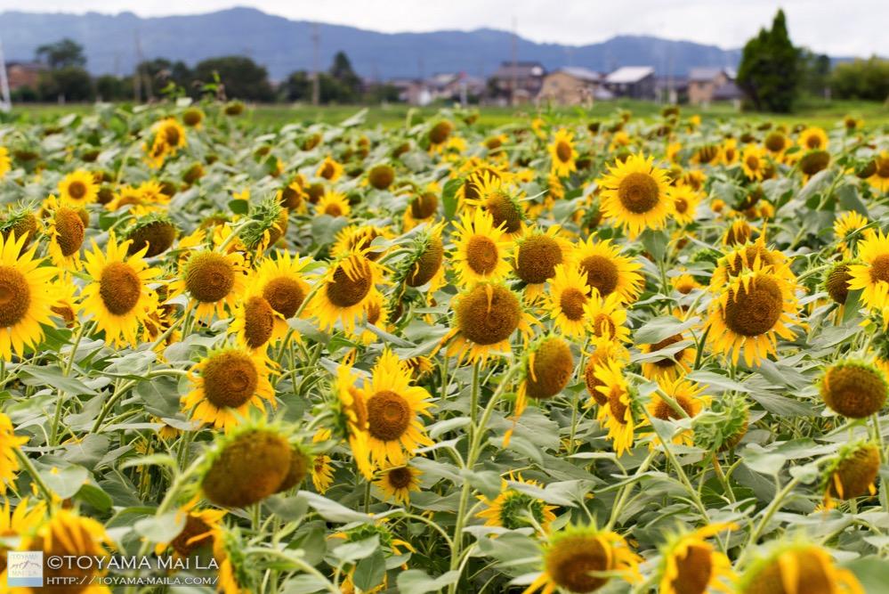 富山 大島絵本館の裏 ヒマワリ畑 5