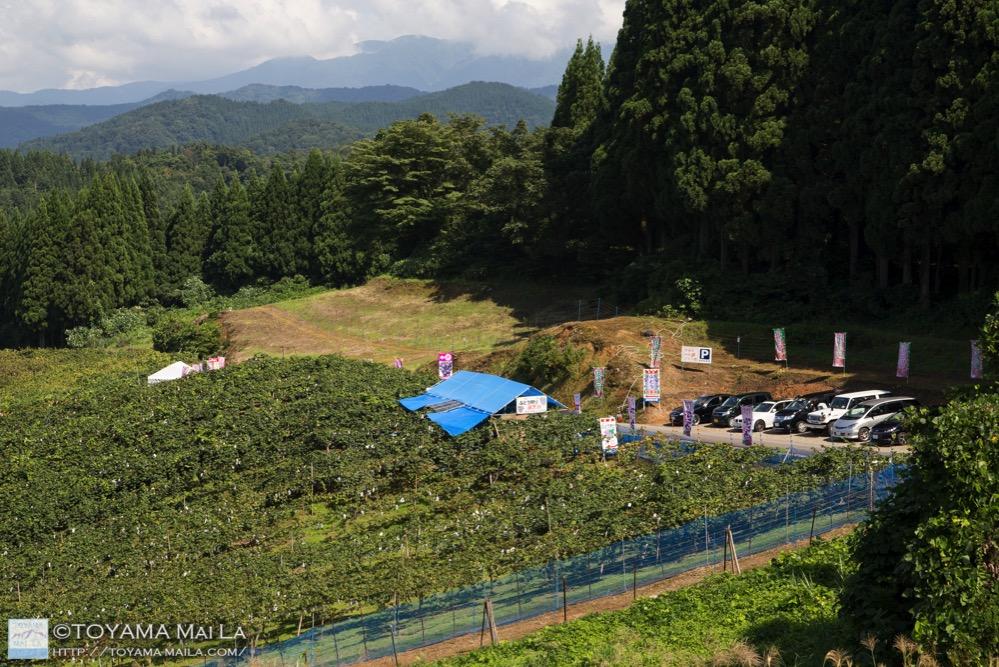 東福寺按田ぶどう園 富山 ぶどう狩り 滑川 11